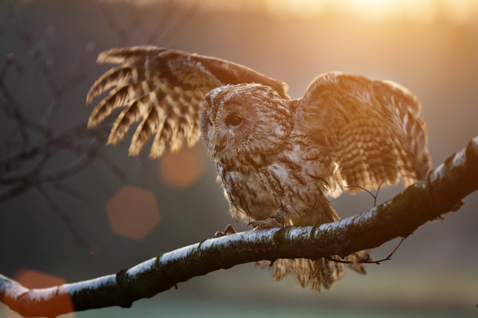 banner image of tawny owl